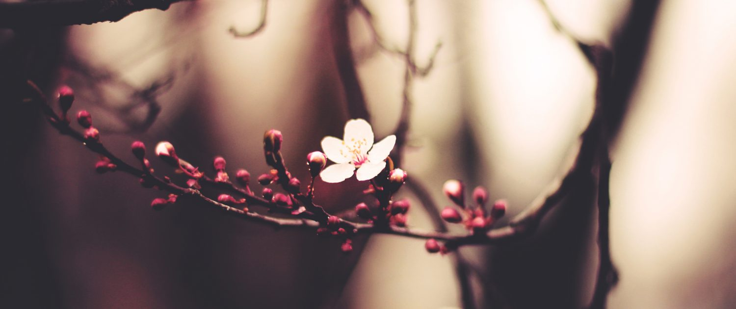 Pink spring blossoms on a tree branch - Sandra Harewood Counselling - Childhood Wounding Counselling