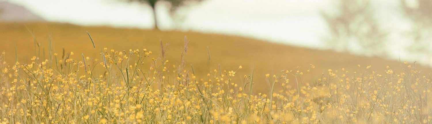 Field of Small Yellow Flowers - Counselling for Grief and Loss -Sandra Harewood Counselling